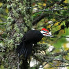 Male Pileated woodpecker - Thunder Cape