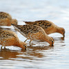 Short - billed Dowitchers dowitching