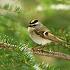 Golden-crowned Kinglet - Mills Block Forest - Thunder Bay