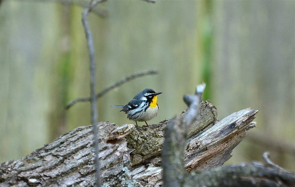 Rondeau and Pelee Birds 2013